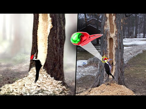 Why Don't Woodpeckers Get Concussions? | What Happens When A Woodpecker Cant Find Food